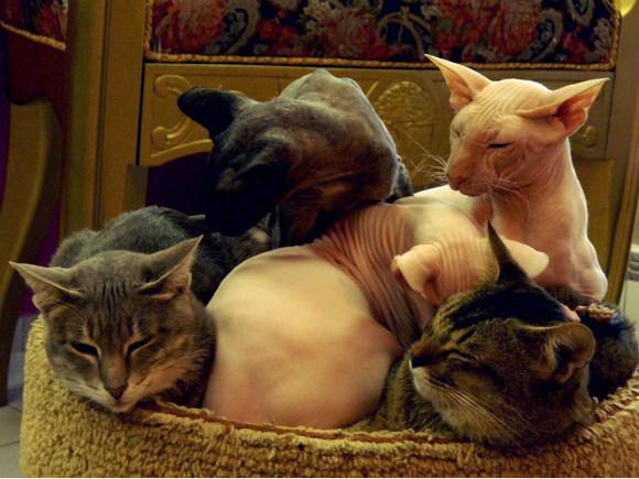 В краснодарской ветклинике коту-сфинксу сделали крупную татуировку