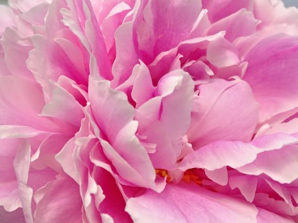 ВБотаническом саду откроется выставка петербургских пионов