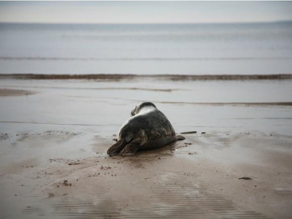 Наберегу Финского залива безжалостно расправились ссерым тюленем