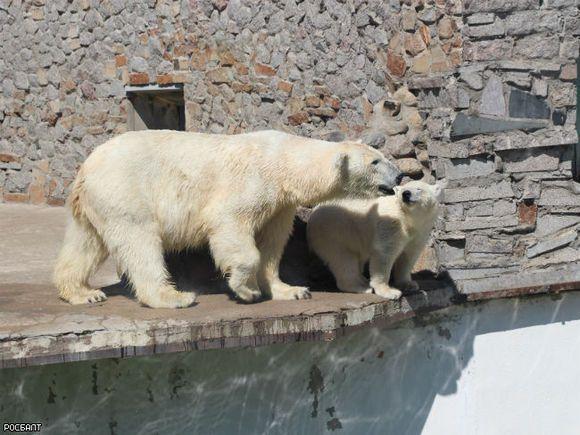 Ленинградский зоопарк ожидает изЯкутии небольшую белоснежную медведицу