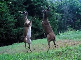 Двое оленей подрались в стиле кенгуру