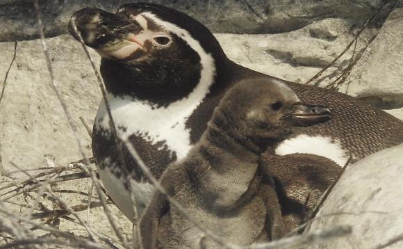 ВМосковском зоопарке родились перуанские пингвинята