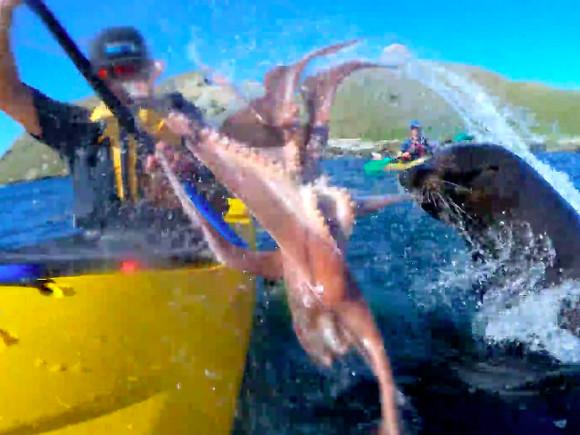 Тюлень хлестнул каякера полицу осьминогом