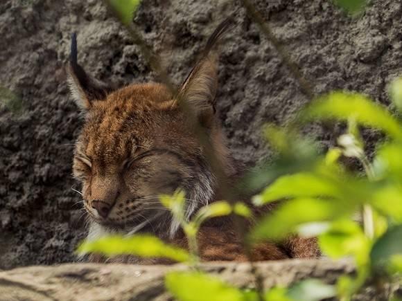 Котята европейской рыси родились вМосковском зоопарке впервый раз за10 лет