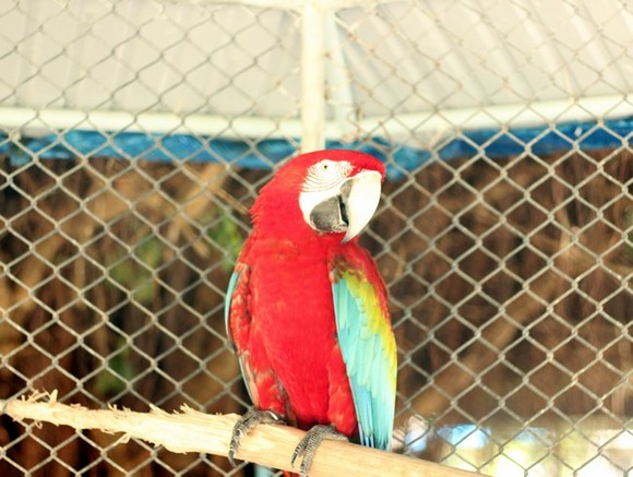 Биологи узнали секрет долголетия попугаев