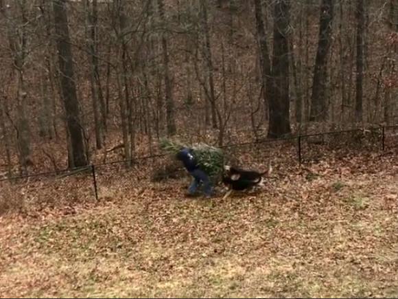 ВСША собаки помешали мужчине выбросить новогоднюю елку