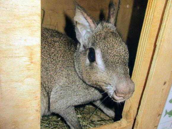 Самцу патагонского зайца из Ленинградского зоопарка привезли подругу (фото)