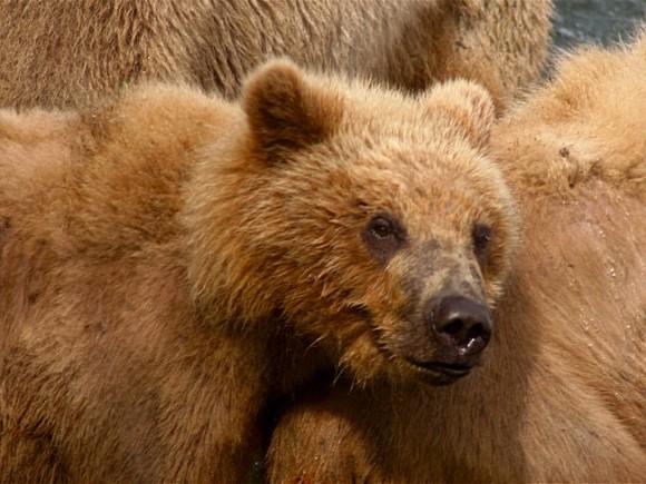 В Томской области из-за паводка выходят из спячки медведи