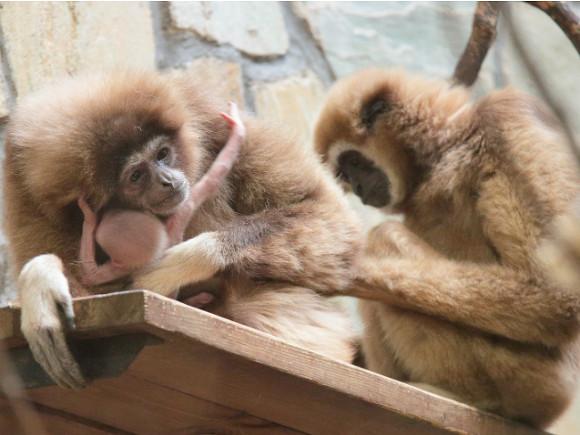 ВЛенинградском зоопарке упары гиббонов появился насвет малыш