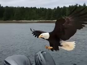 Орел стащил улов у рыбака