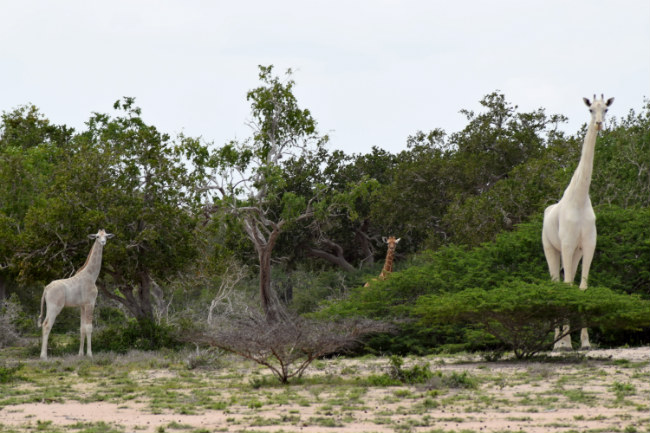 Белые жирафы впервый раз сняты навидео вкенийском заповеднике