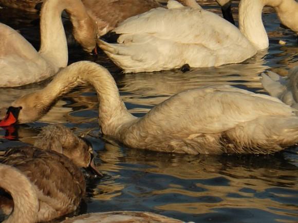 Свидетели: взагрязненной воде морского канала погибают лебеди