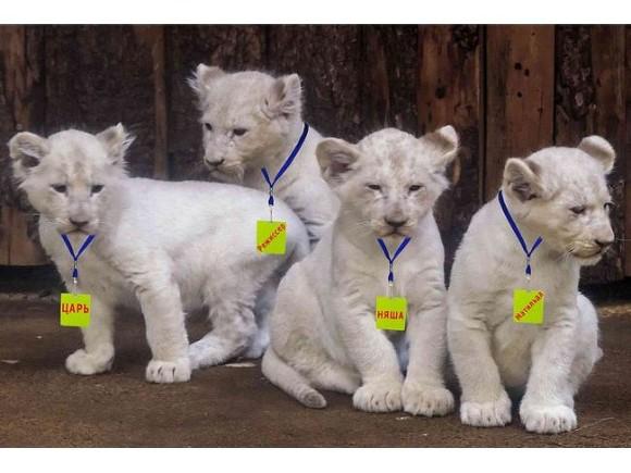В крымском зоопарке львят назвали Царь, Режиссер, Матильда и Няша-Невменяша