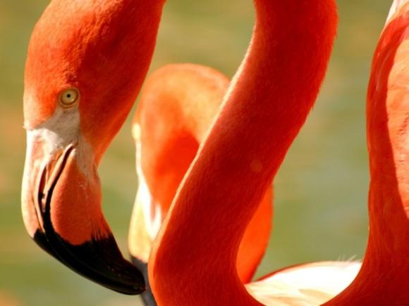 5 птенцов вылупились уфламинго изМосковского зоопарка