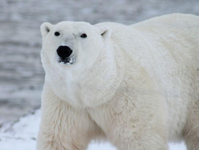 Белый медведь убил человека на Земле Франца-Иосифа