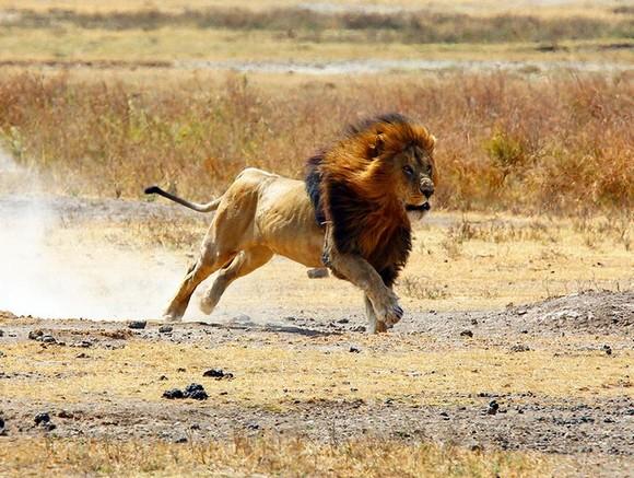 Львы всафари-парке растерзали ветеринара иего помощника