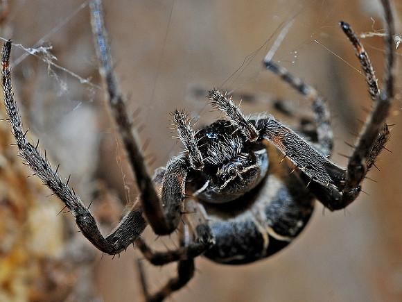 Жителя Австралии ядовитый паук два раза заполгода укусил впенис