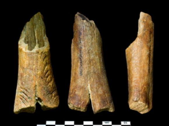 Найденная кость верблюда возрастом 2 млн лет