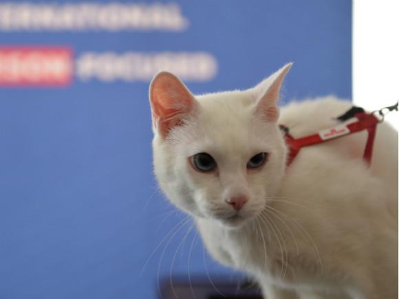 Эрмитажный кот Ахилл предсказал победу итальянцев в матче с турками на Евро-2020 (видео)