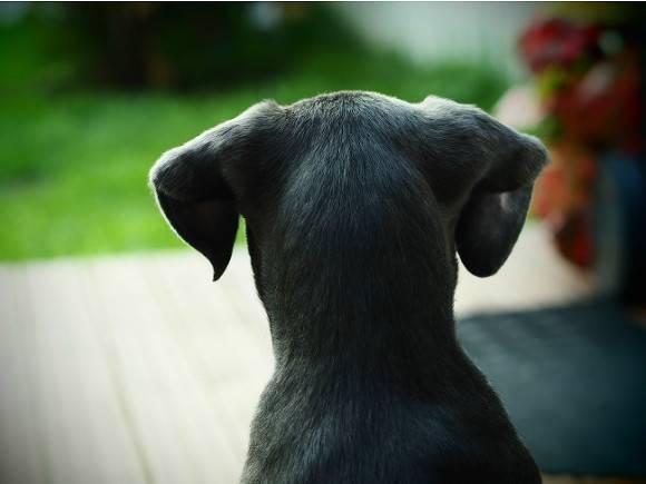 Самую ушастую собаку нашли в США  она пополнила Книгу рекордов Гиннеса