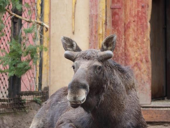 В Ленинградском зоопарке лось Денис начал линять и отращивать рога