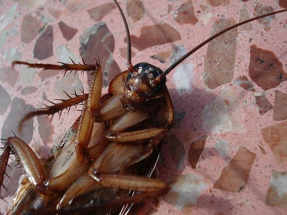 Россиян предупредили о грядущем нашествии тараканов