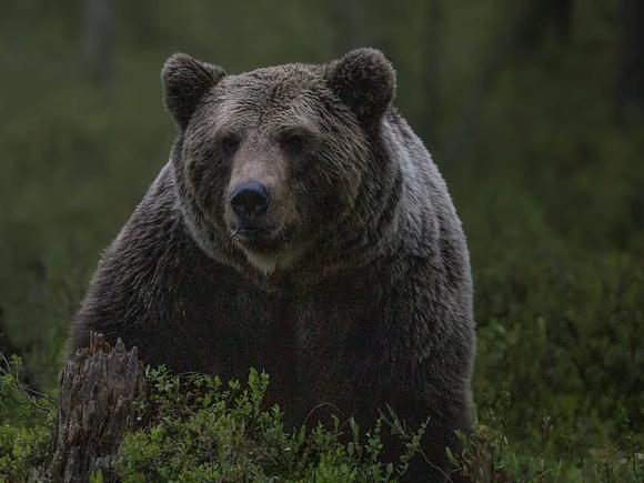 В Орле цирковой медведь напал на беременную дрессировщицу