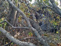 Представители «Анна Нова» ощипали кору с вязов в Муринском парке