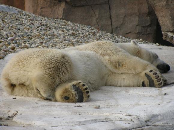Глобальное потепление привело белых медведей к инцесту