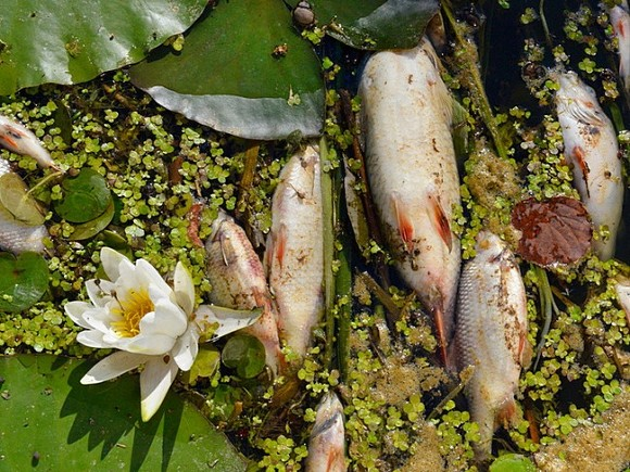 Вслед за Камчаткой: в Приморье побережье завалило дохлой рыбой (видео)