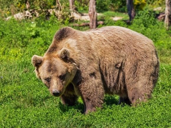 В Красноярском крае медведь напал на туристов, один человек погиб