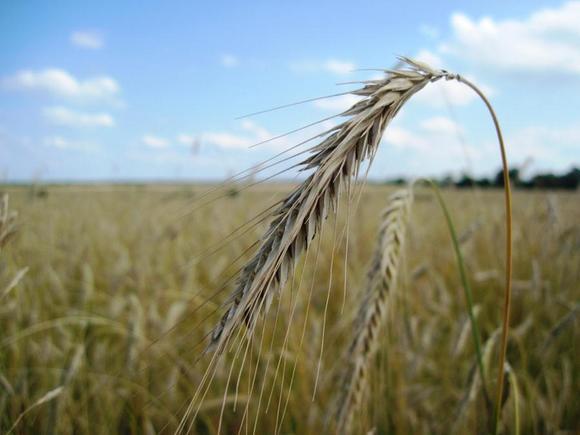 «$53,5 за тонну»: Россия повысила пошлину на экспорт пшеницы