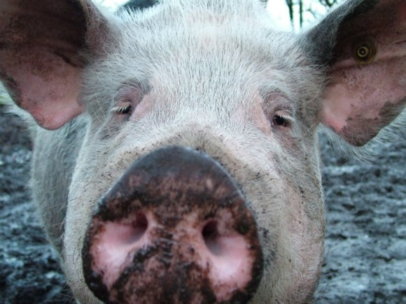 СМИ: В Забайкалье свиней, ставших жертвами чумы, кормили объедками из частей Минобороны