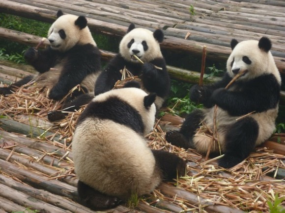Власти Китая: большим пандам больше не грозит вымирание