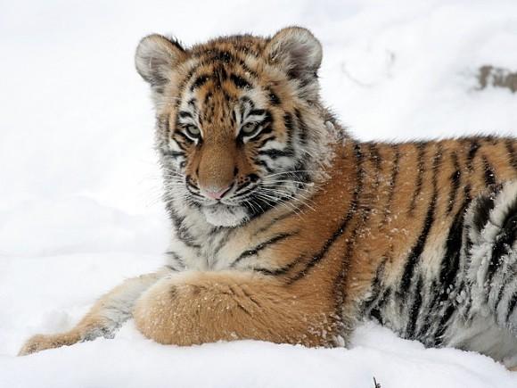 В Хабаровском крае в ДТП погиб амурский тигр