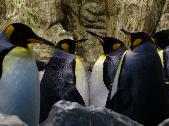 На австралийском острове тасманийские дьяволы уничтожили популяцию пингвинов